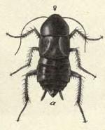 таракан прусак